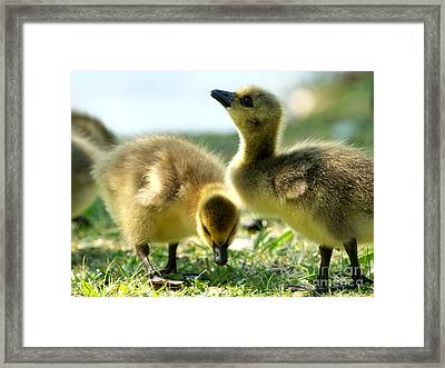 Goslings 6 Framed Print by Sharon Talson