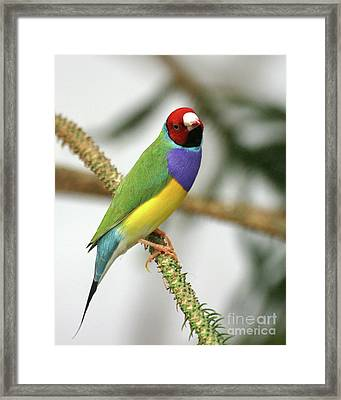 Gouldian Finch Framed Print