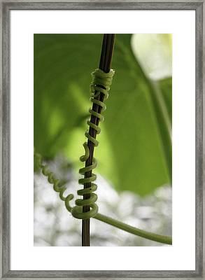 Gourd Tendril (cucurbita Sp.) Framed Print by Vaughan Fleming