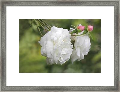Graceful White Rose And Pink Rosebuds Framed Print by Jennie Marie Schell