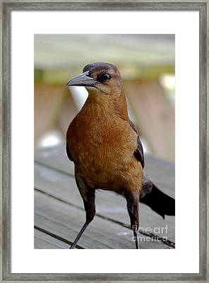Framed Print featuring the photograph Grackle by Pravine Chester