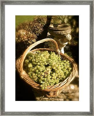 Grape Harvest Framed Print
