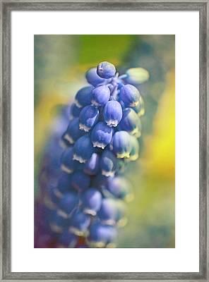 Grape Hyacinths In Spring Framed Print by Trina Dopp Photography