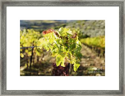Grape Leaves Framed Print by Jeremy Woodhouse