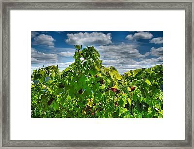 Grape Vines Up Close Framed Print by Steven Ainsworth