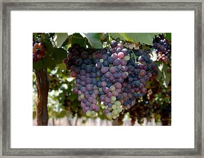 Grapes Bunch Framed Print by Johnson Moya