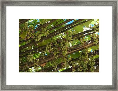 Grapes Grow On Vines Draped Framed Print