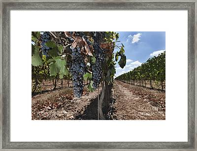 Grapes Hanging On Vine Framed Print by Noam Armonn