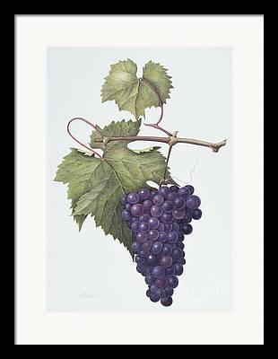 Grapevine Red Leaf Drawings Framed Prints