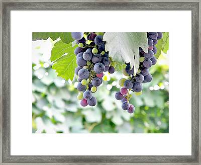Grapes On The Vine Framed Print by Glennis Siverson