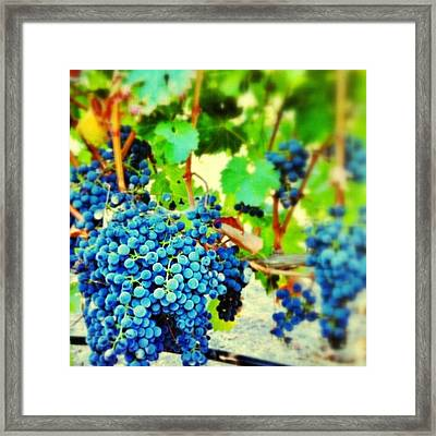 #grapes On The #vine In My Backyard Framed Print