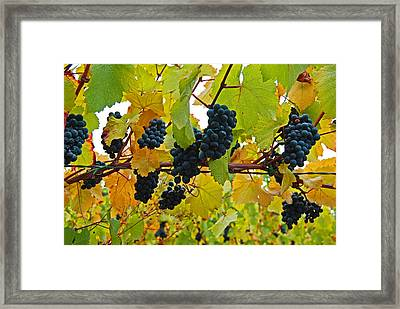 Grapes On The Vine Framed Print by Jani Freimann