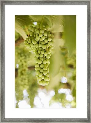 Grapes On Vine Framed Print by Andersen Ross
