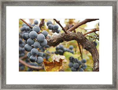 Grapes On Vine Framed Print by Dennis Faucher