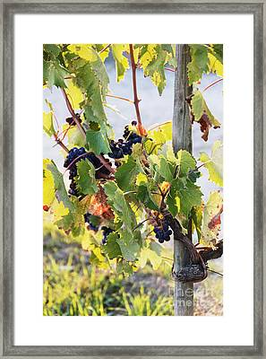 Grapes On Vine Framed Print by Jeremy Woodhouse