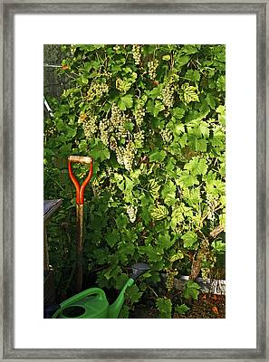Grapevine In A Greenhouse Framed Print by Bjorn Svensson