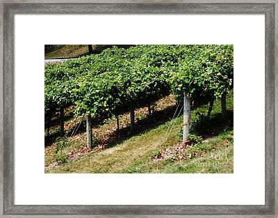 Grapevines Framed Print by Marsha Heiken