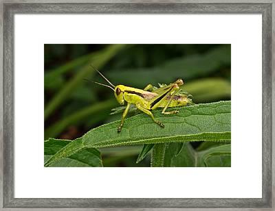 Grashopper Poised Framed Print by Douglas Barnett