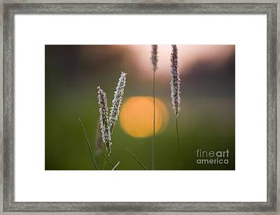 Grass Blooming Framed Print by Heiko Koehrer-Wagner