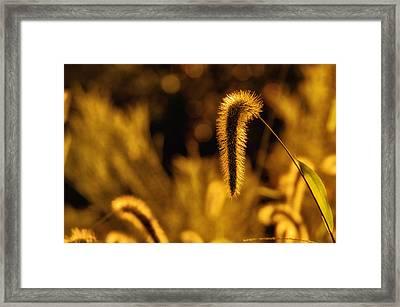 Grass In Golden Light Framed Print