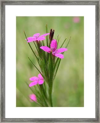 Grass Pink Bouquet Framed Print