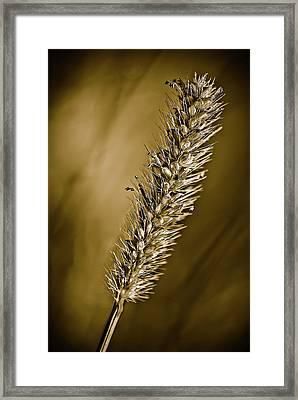 Grass Seedhead Framed Print by  Onyonet  Photo Studios
