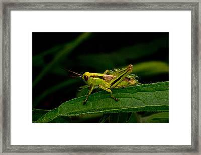 Grasshopper 2 Framed Print by Douglas Barnett