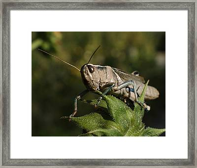 Grasshopper 2 Framed Print by Ernie Echols