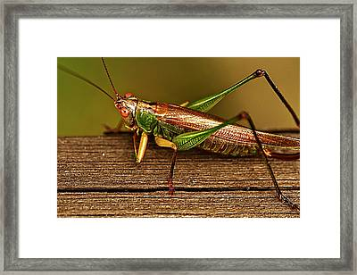 Grasshopper Framed Print by Linda Tiepelman