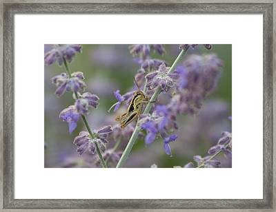 Grasshopper Framed Print by Michel DesRoches
