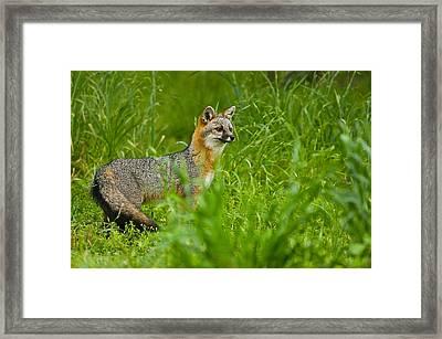 Gray Fox - 5380 Framed Print
