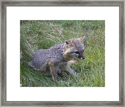Gray Fox Framed Print by Chuck Homler