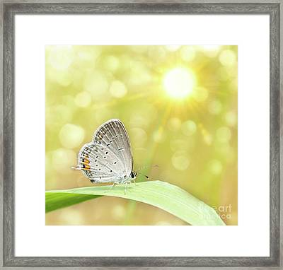 Gray Hairstreak Butterfly  Framed Print