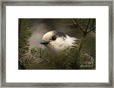 Gray Jay Playing Peek A Boo Framed Print by Inspired Nature Photography Fine Art Photography