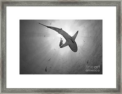 Gray Reef Shark, Kimbe Bay, Papua New Framed Print