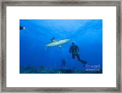Gray Reef Shark With Divers, Papua New Framed Print by Steve Jones