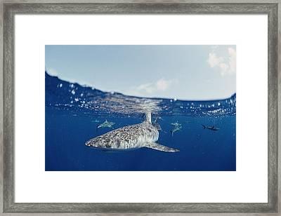 Gray Reef Sharks Carcharhinus Framed Print by Bill Curtsinger