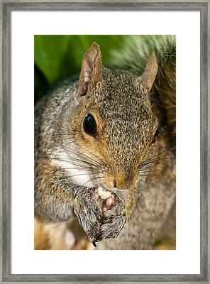 Gray Squirrel Framed Print by Fabrizio Troiani
