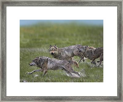 Gray Wolf Trio Running Through Water Framed Print