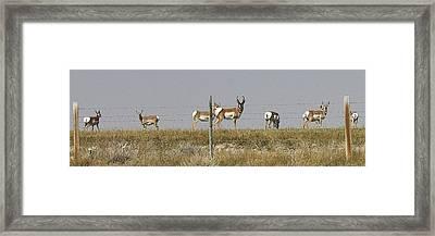 Grazing Antelope Framed Print by Bruce Bley