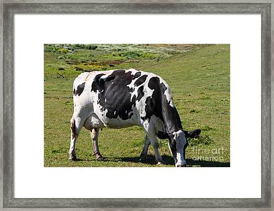 Grazing Cow At Point Reyes California . 7d16140 Framed Print