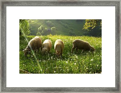 Grazing Sheep Framed Print