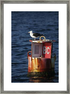 Great Black-backed Gull Framed Print by Tim Laman