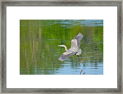 Great Blue Heron - Where To Now Framed Print