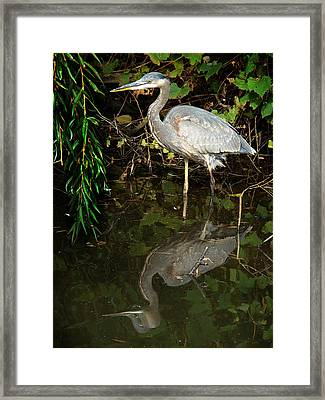 Great Blue Heron 1 Framed Print