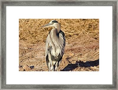 Great Blue Heron 1 Framed Print by Harry Strharsky