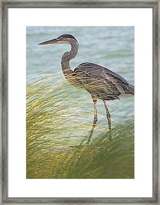 Great Blue Heron And Grass Framed Print