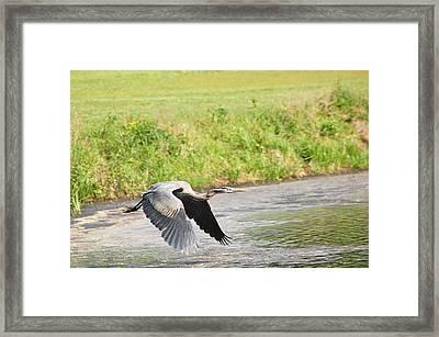 Great Blue Heron Begins Flight Framed Print