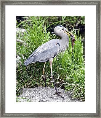 Great Blue Heron Catches Dinner-1 Framed Print by Ilene Hoffman