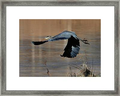 Great Blue Heron Flight - C1287g Framed Print by Paul Lyndon Phillips